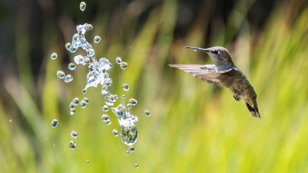 brown hummingbird flying