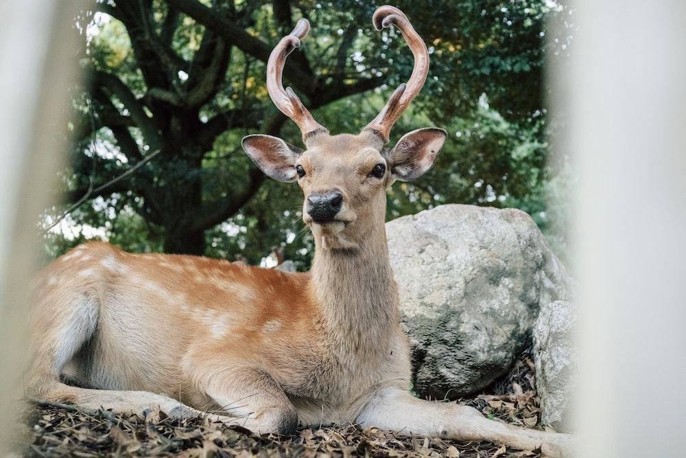brown deer lying on ground near gray rock