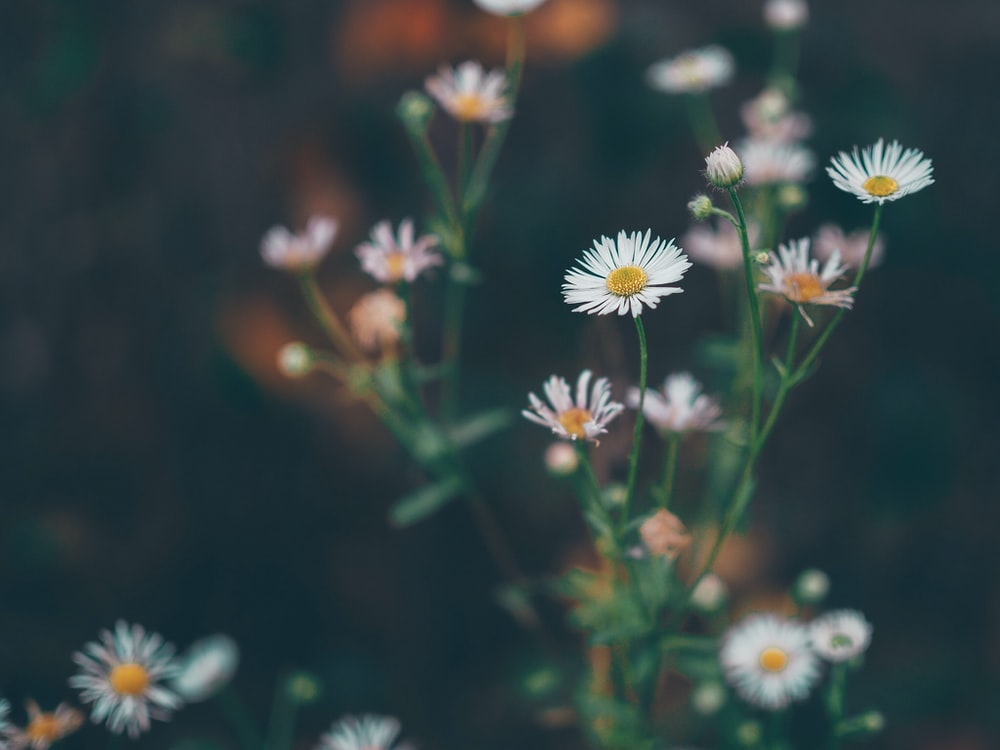 selective focus photography of white daisy flowers during day