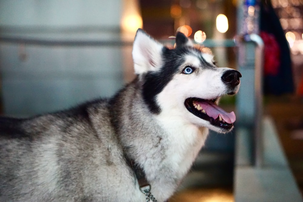 tilt shift lens photography of white and black Siberian Husky