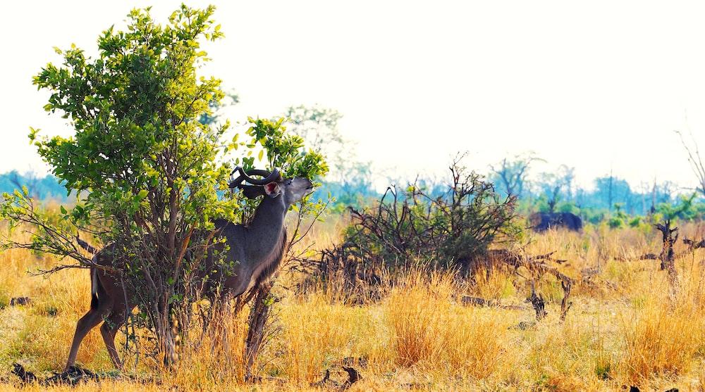 black ram near tree
