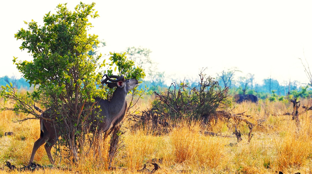 This Kudu was rubbing his nose constantly while we watched it from a jeep a couple of meters away. It was in Botswana, where we enjoyed our game drive in the Moremi Nationalpark.