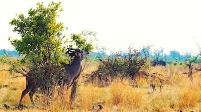 black ram near tree botswana zoom background