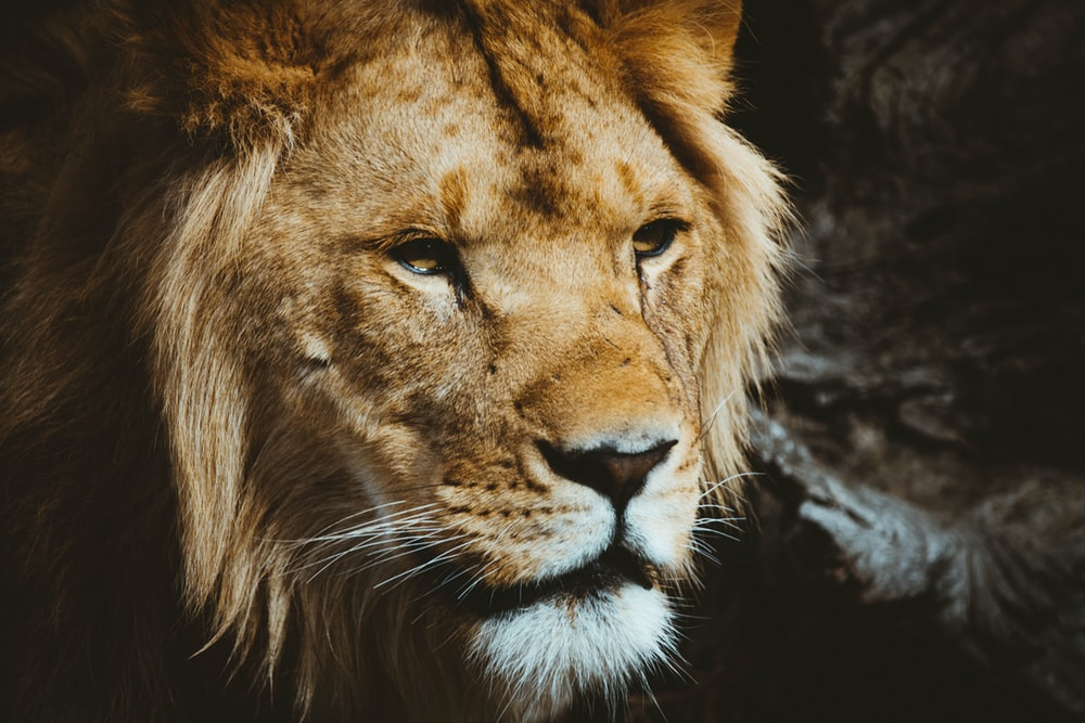 Close-up of a lion staring off into the distance with rocks in the background