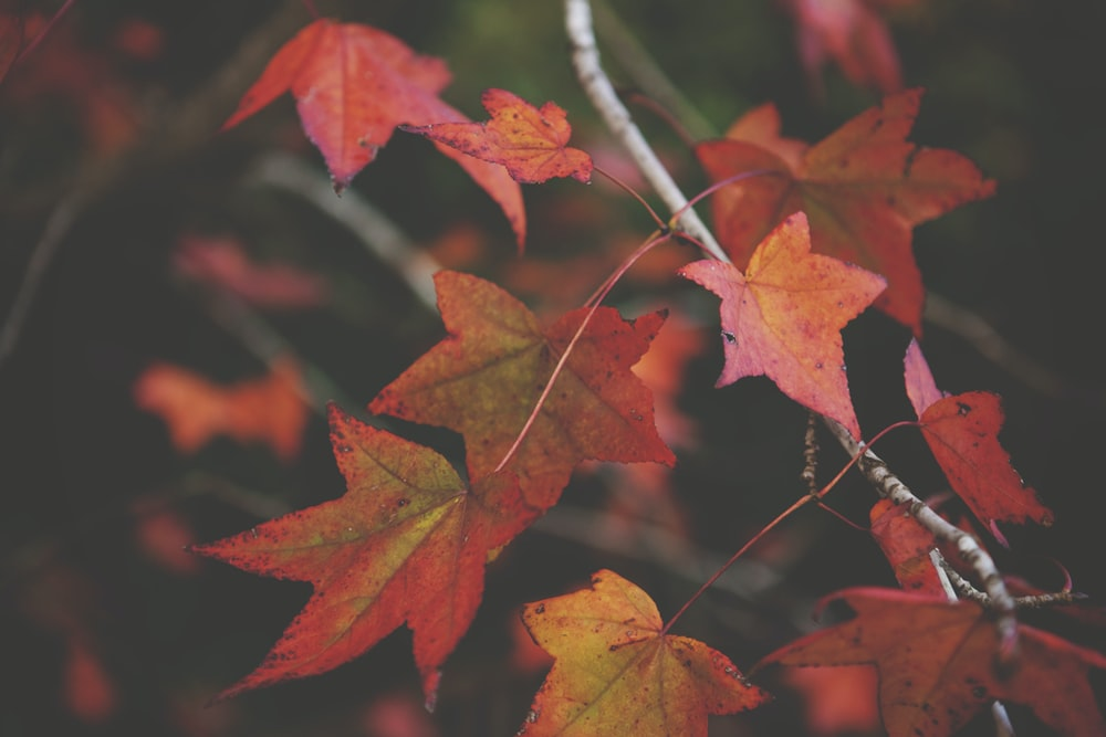 closeup photography of maple leaf