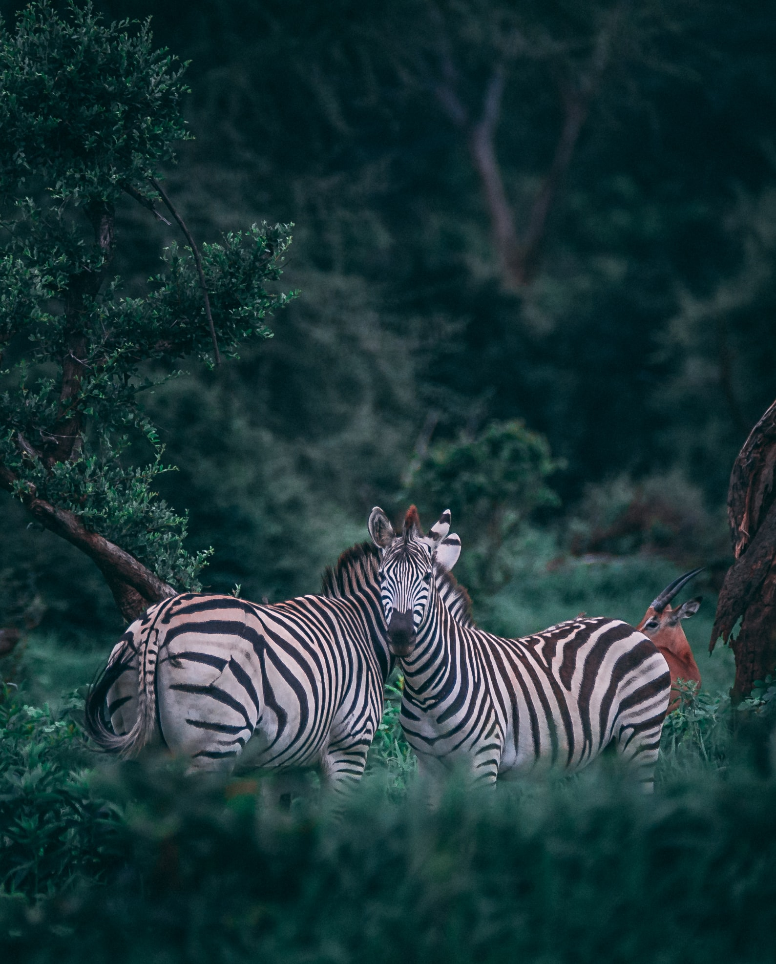 Two zebras in bushes.