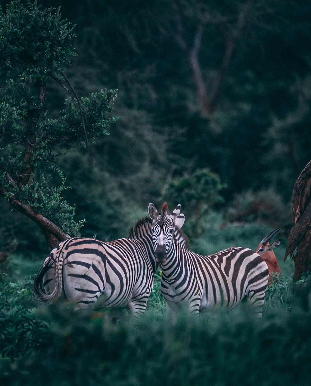 two zebras on grass field