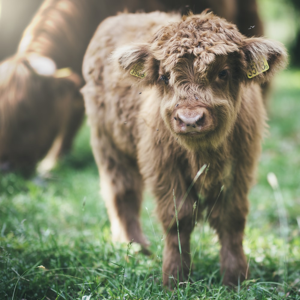 selective focus photo of brown highland cattle at adytime