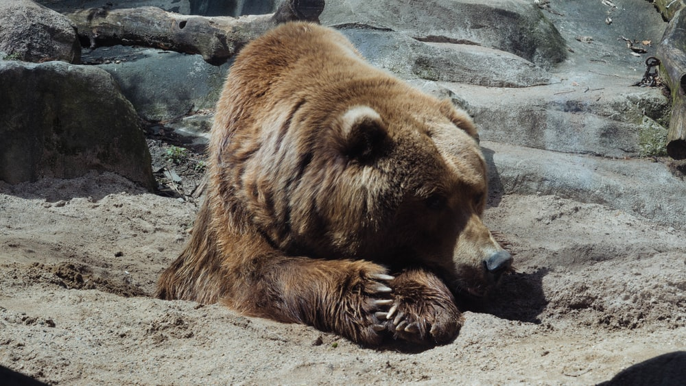 grizzly bear lying down