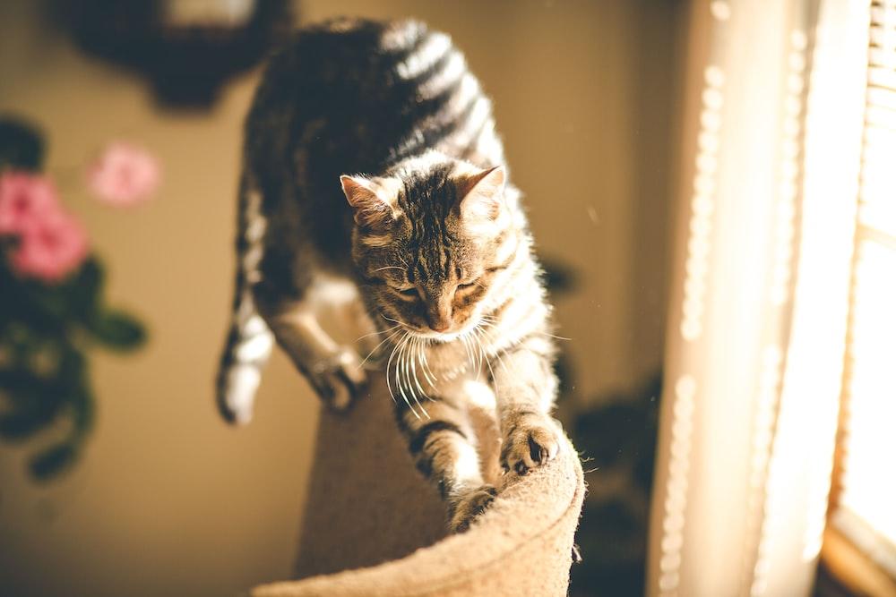 grey tabby cat scratching on sofa
