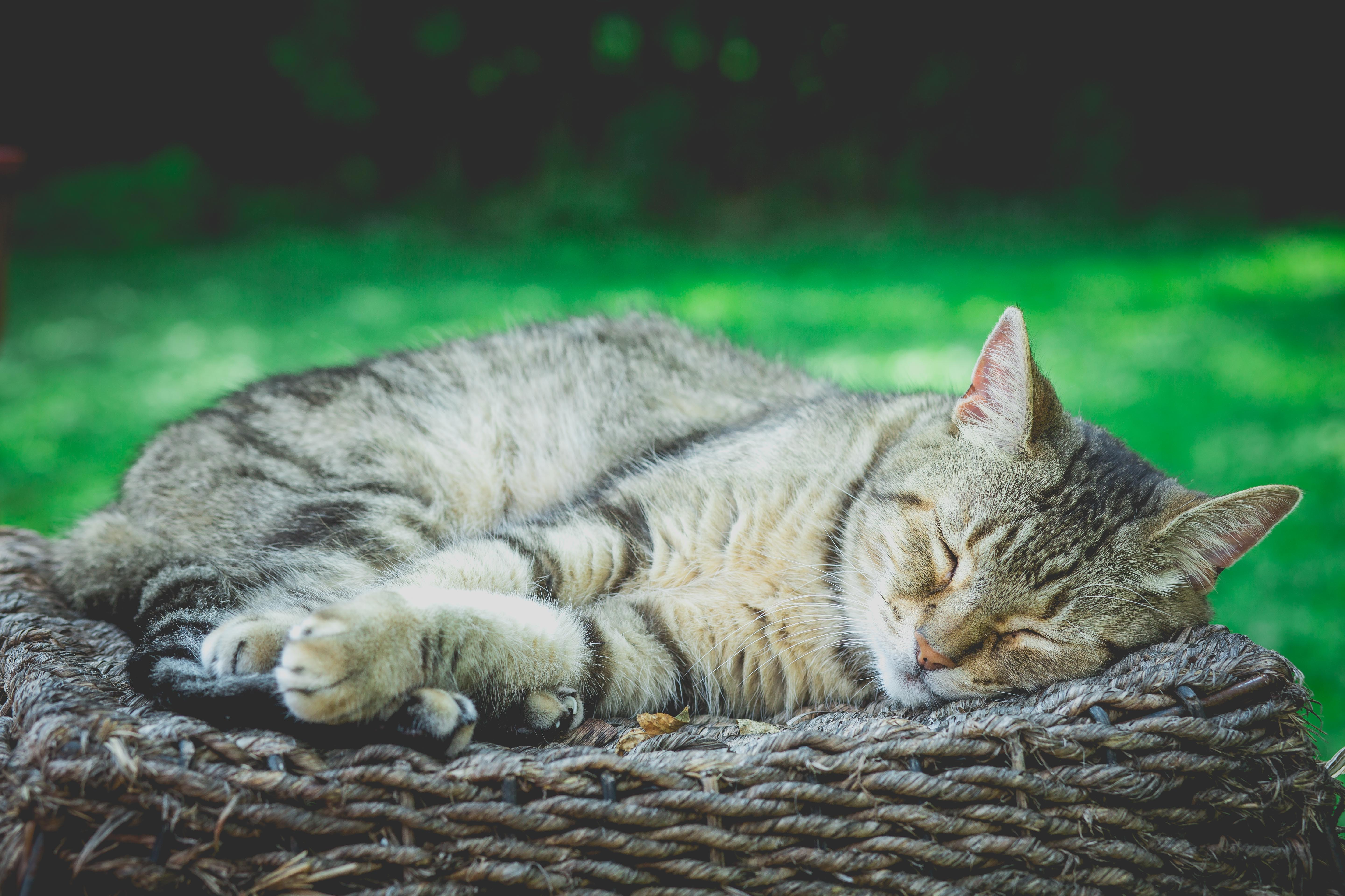 tabby cat sleeping on brown rattan at daytime