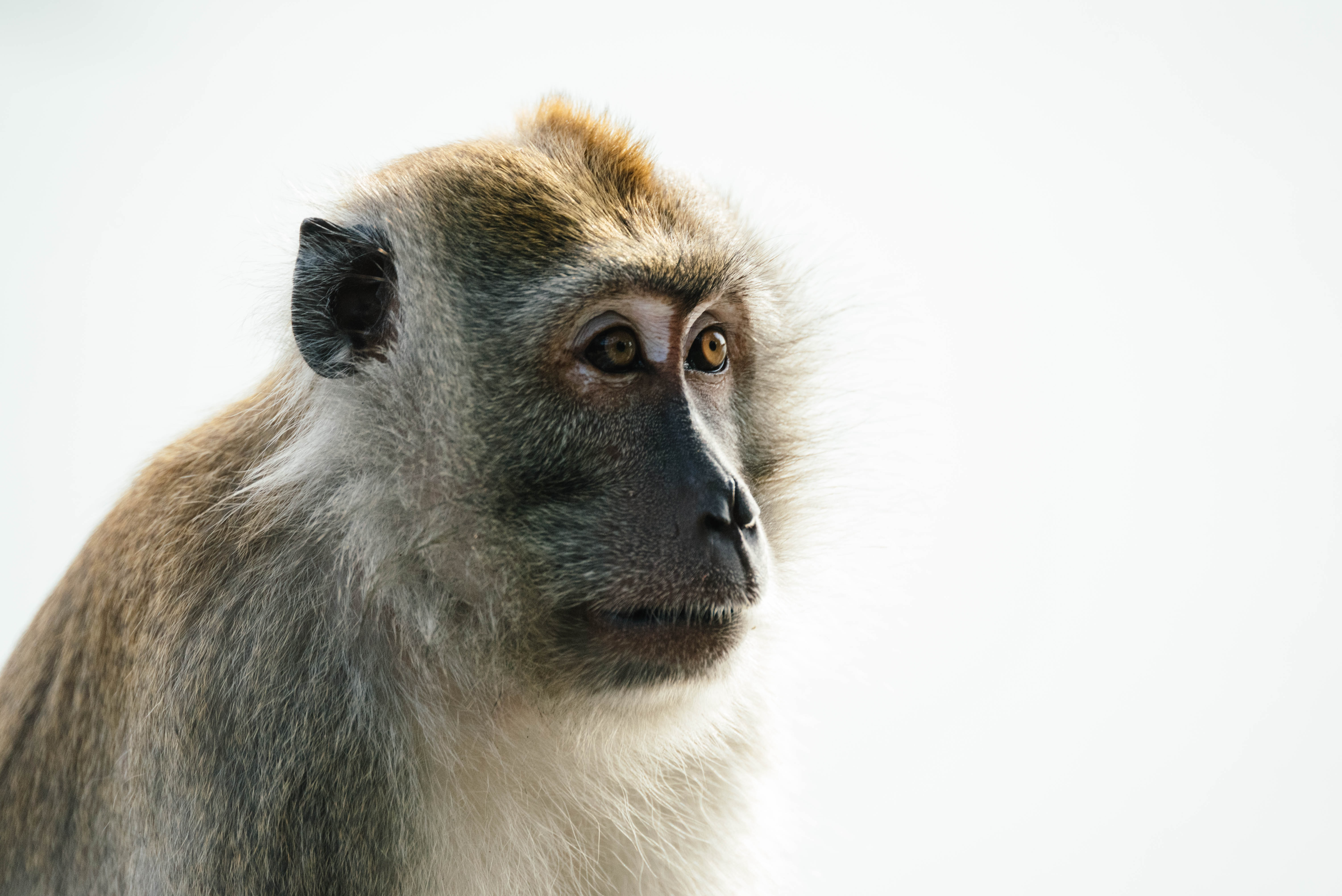 close-up photo of brown monkey