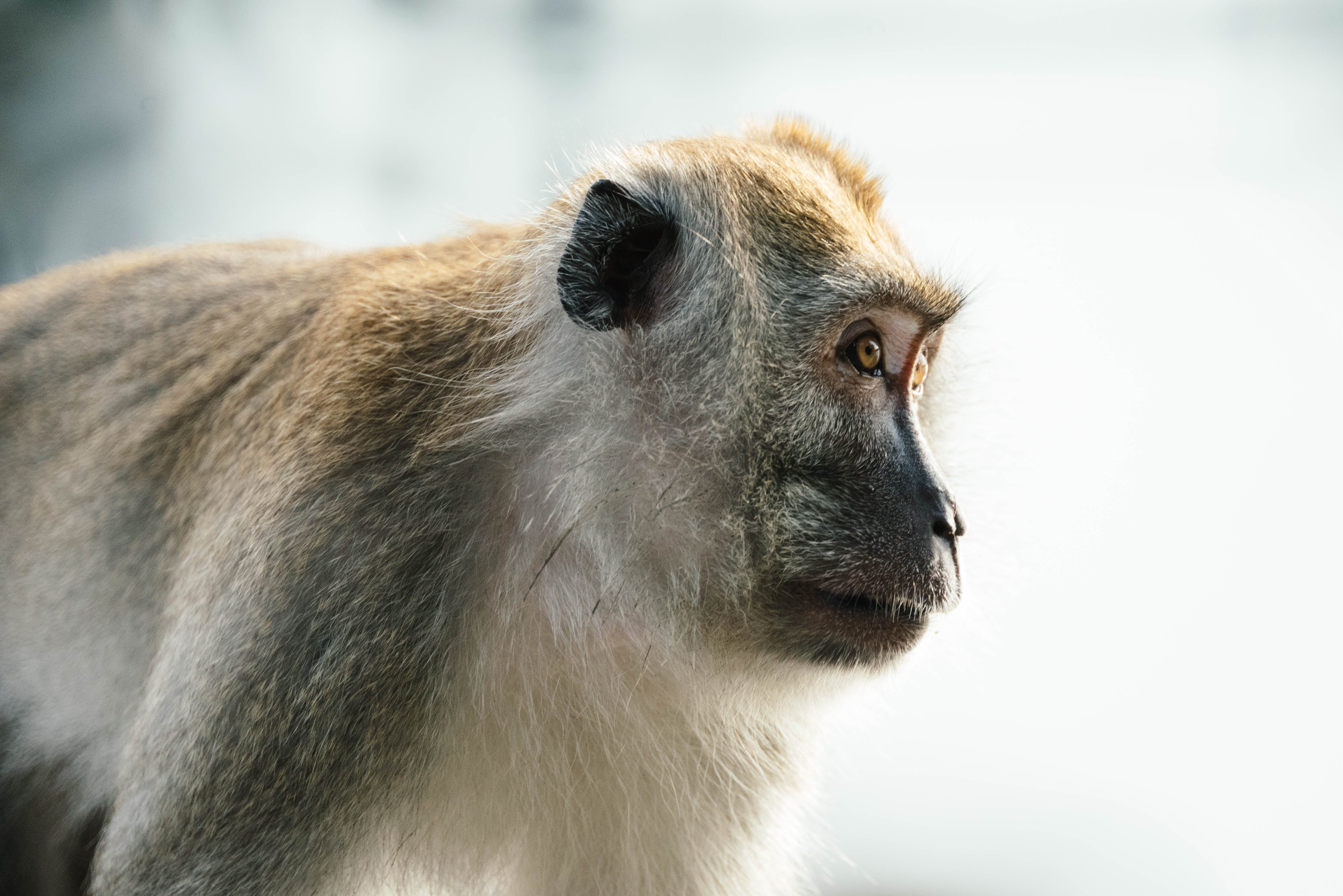 brown and gray monkey