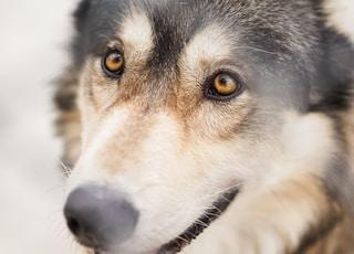 macro shot of brown and black dog staring at the person