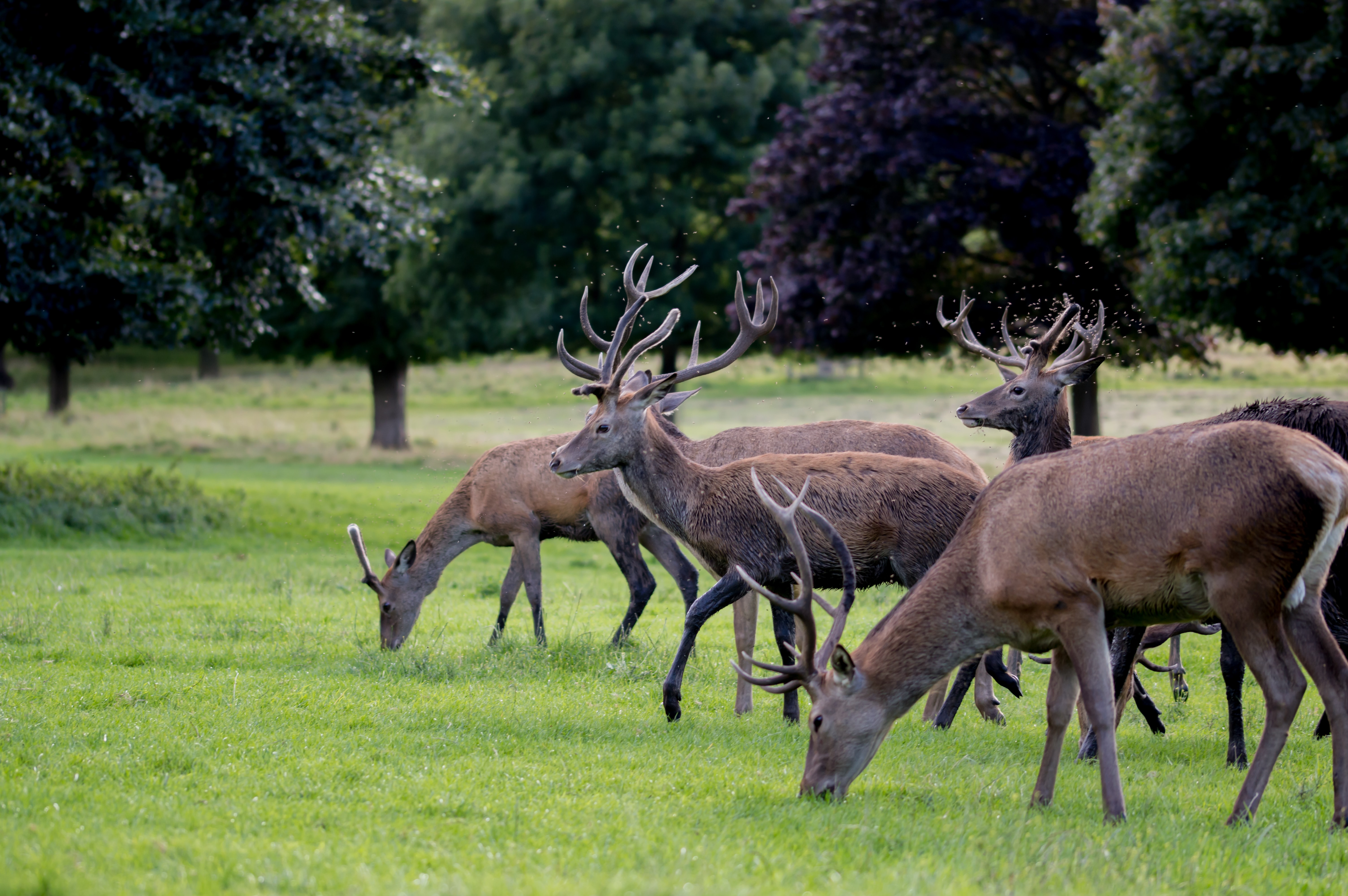 herd of brown deer on green grass
