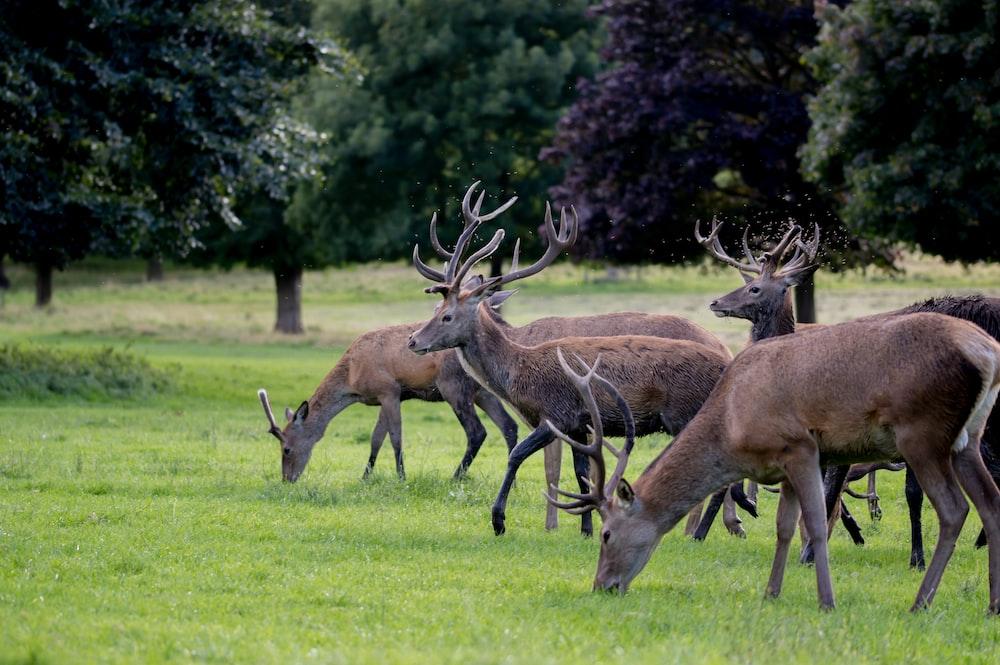 herd of brown deer on green grass