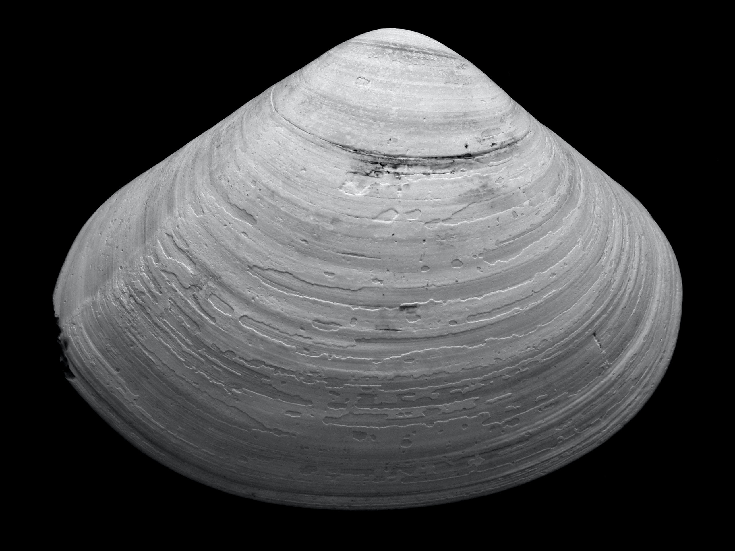grayscale of seashell against black background