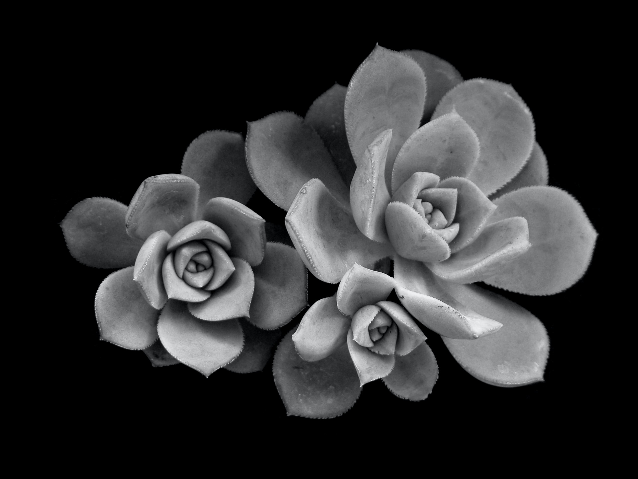 greysacle photography of three succulent plants