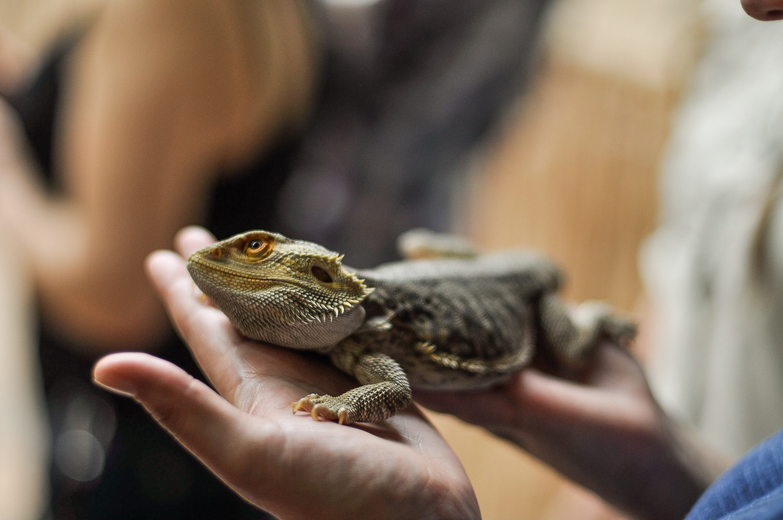 person holding bearded dragon