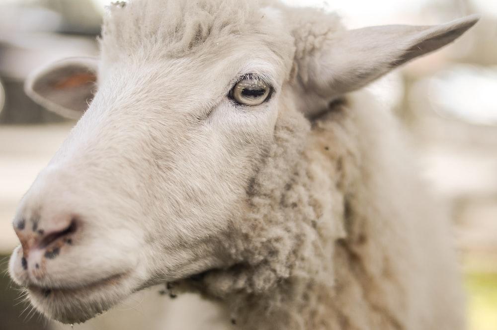 selective photo of white sheep