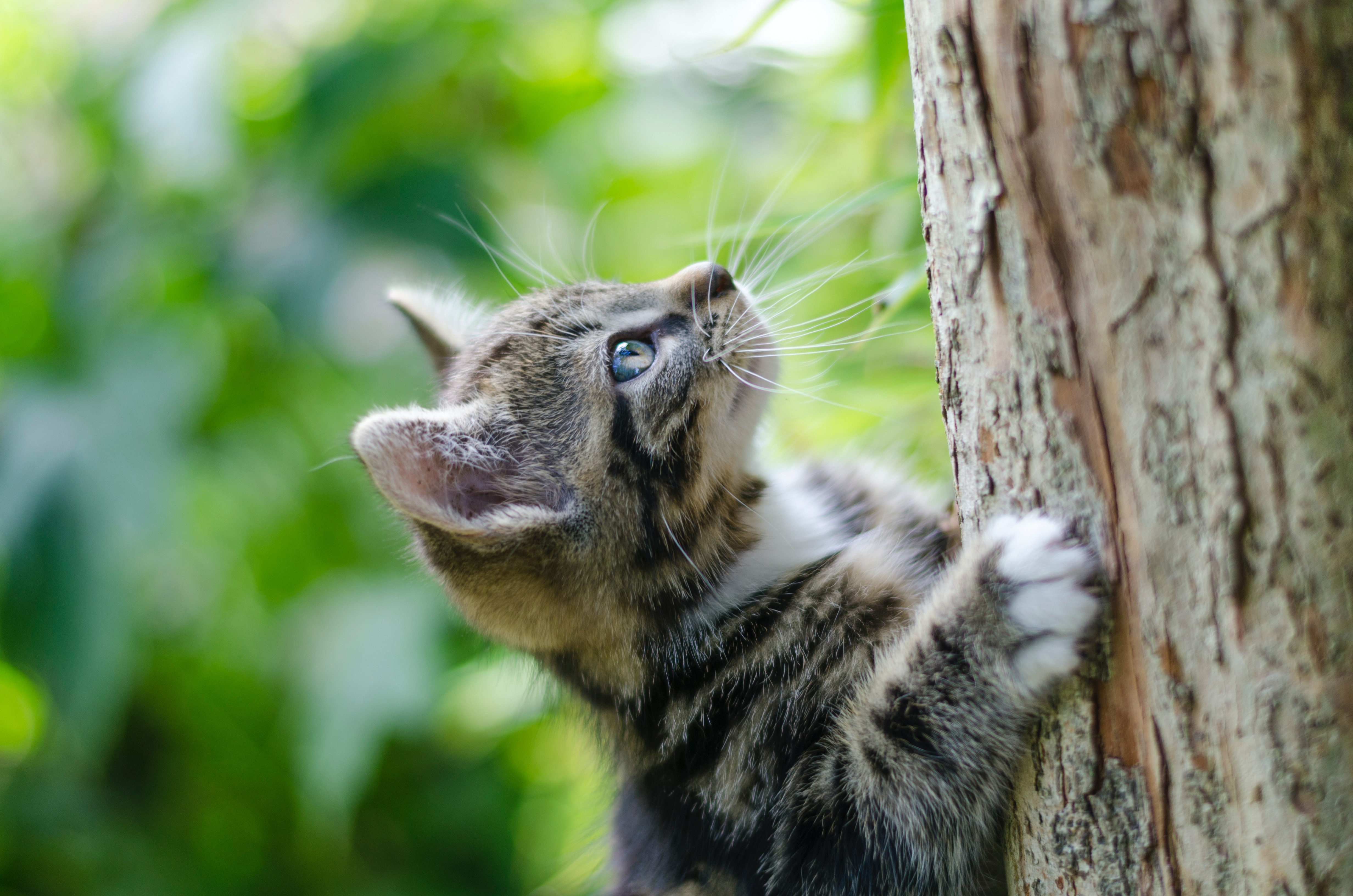 Fluffy little tabby with blue eyes climbing up a tree.