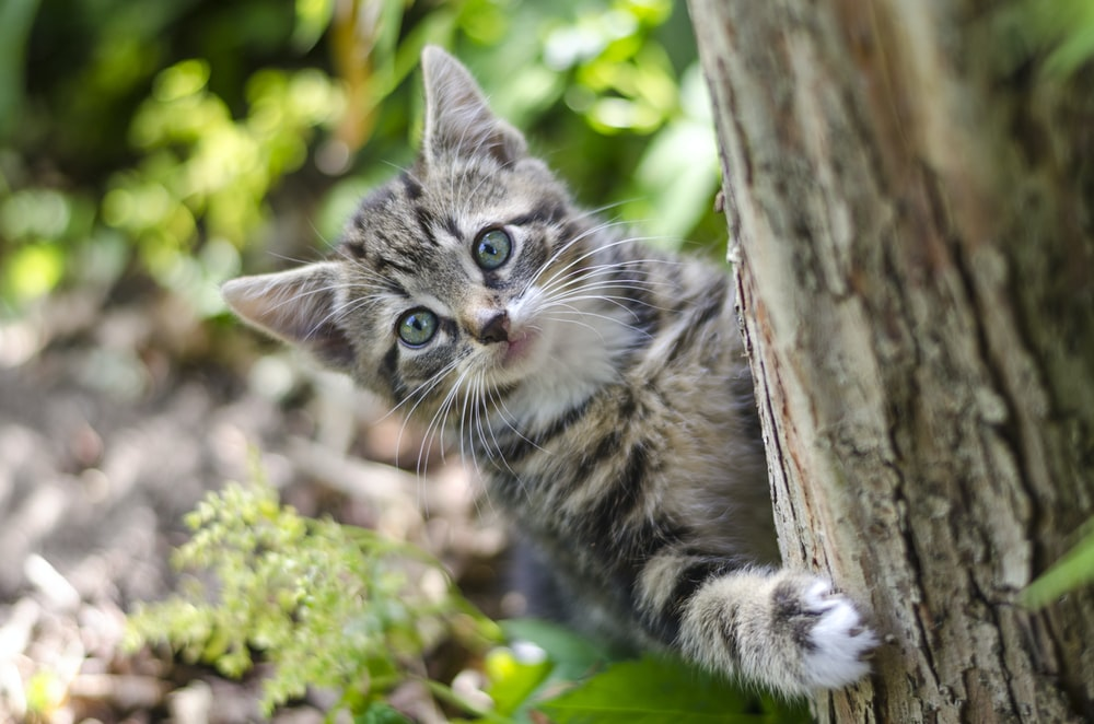 gray tabby kitten on tree