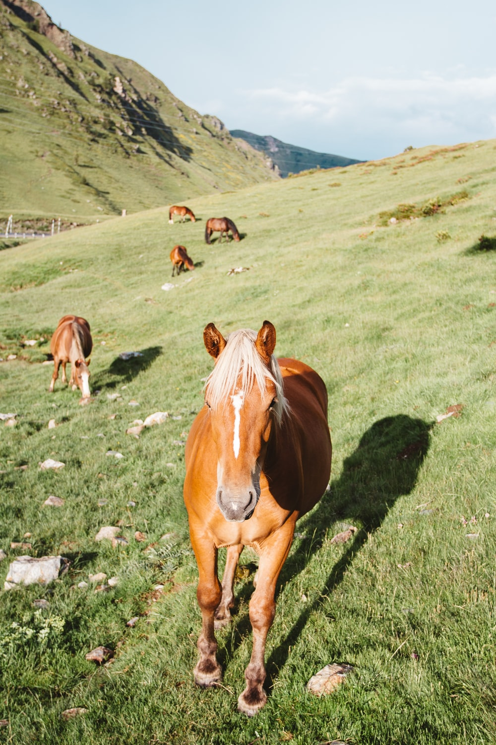 herd of brown horses eating on green grass hill