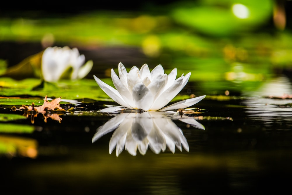 white lily flower on body of water