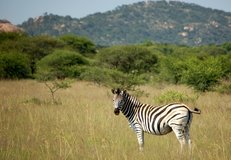 wildlife photography of zebra