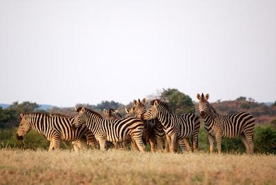 herd of zebra botswana teams background