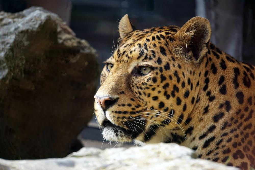wildlife photography of leopard