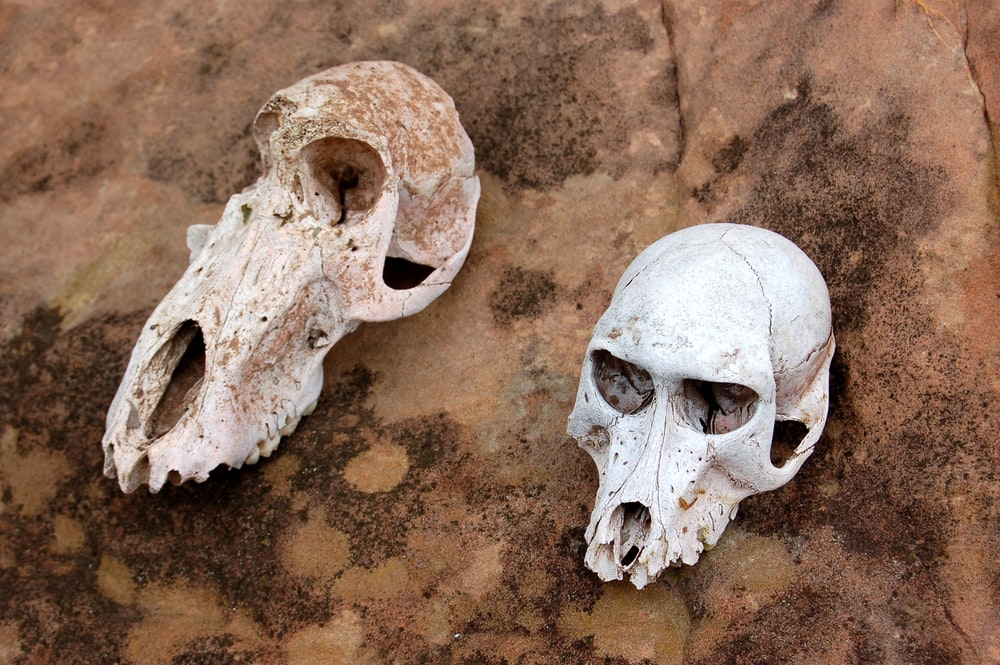 two animal skull on brown surface at daytime