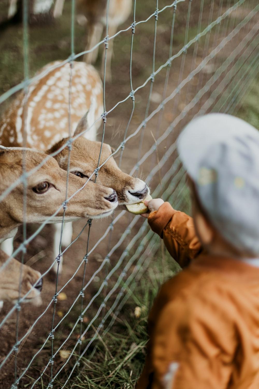 boy feeding brown deers during daytime