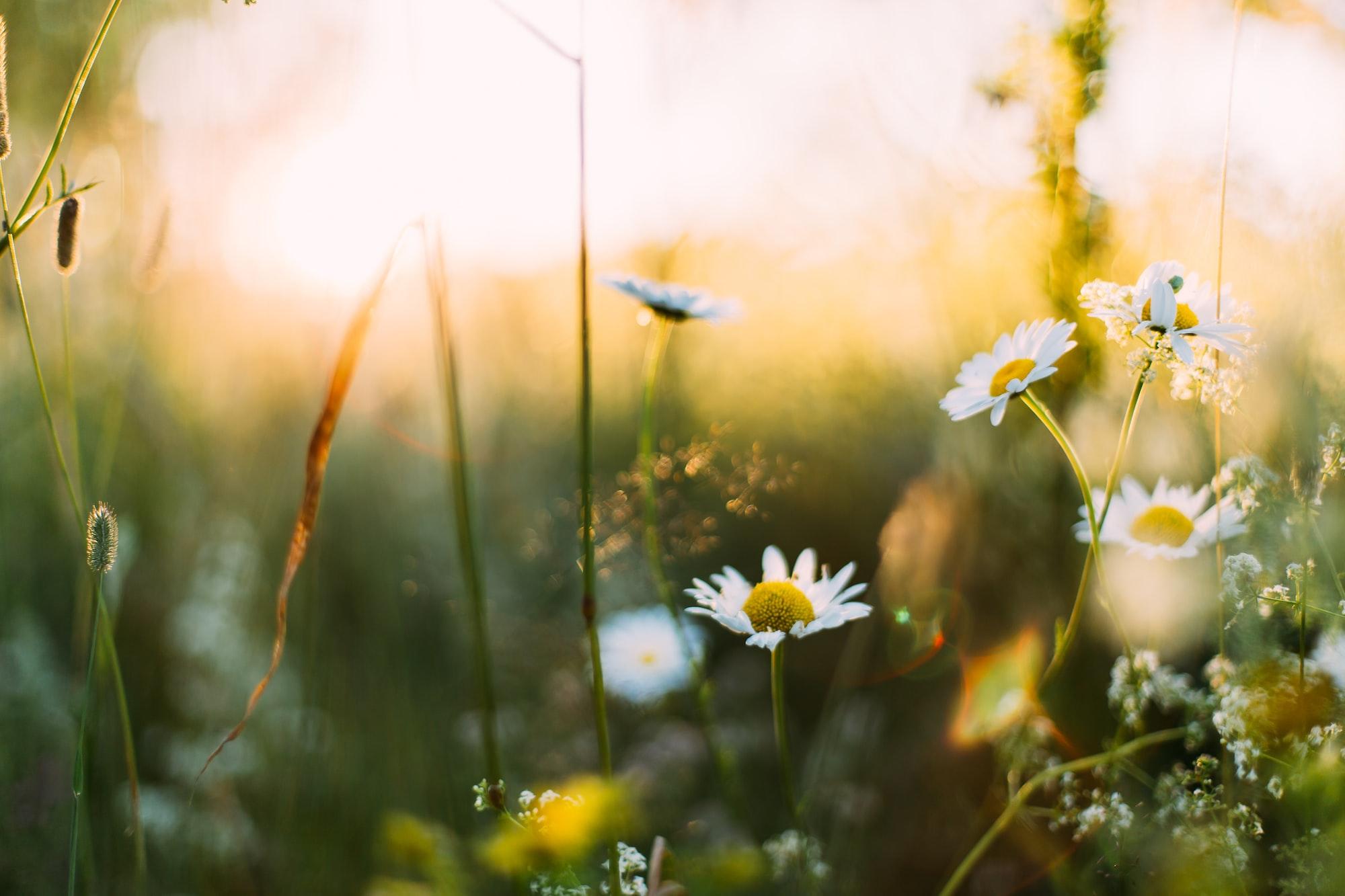 Yellow flowers white petals