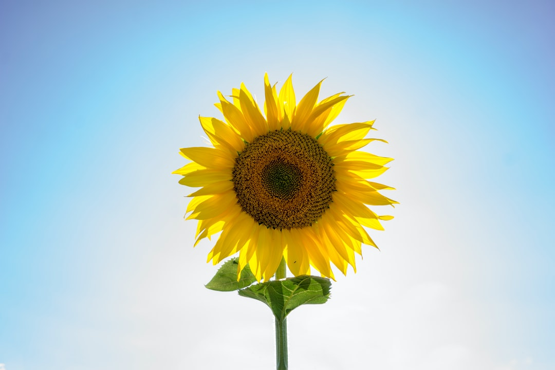 This is a single sunflower in the middle of a sea of sunflowers in an Italian Field.