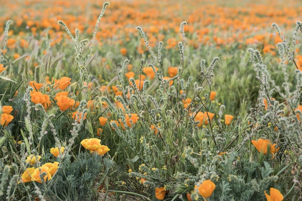landscape photo of yellow flower field