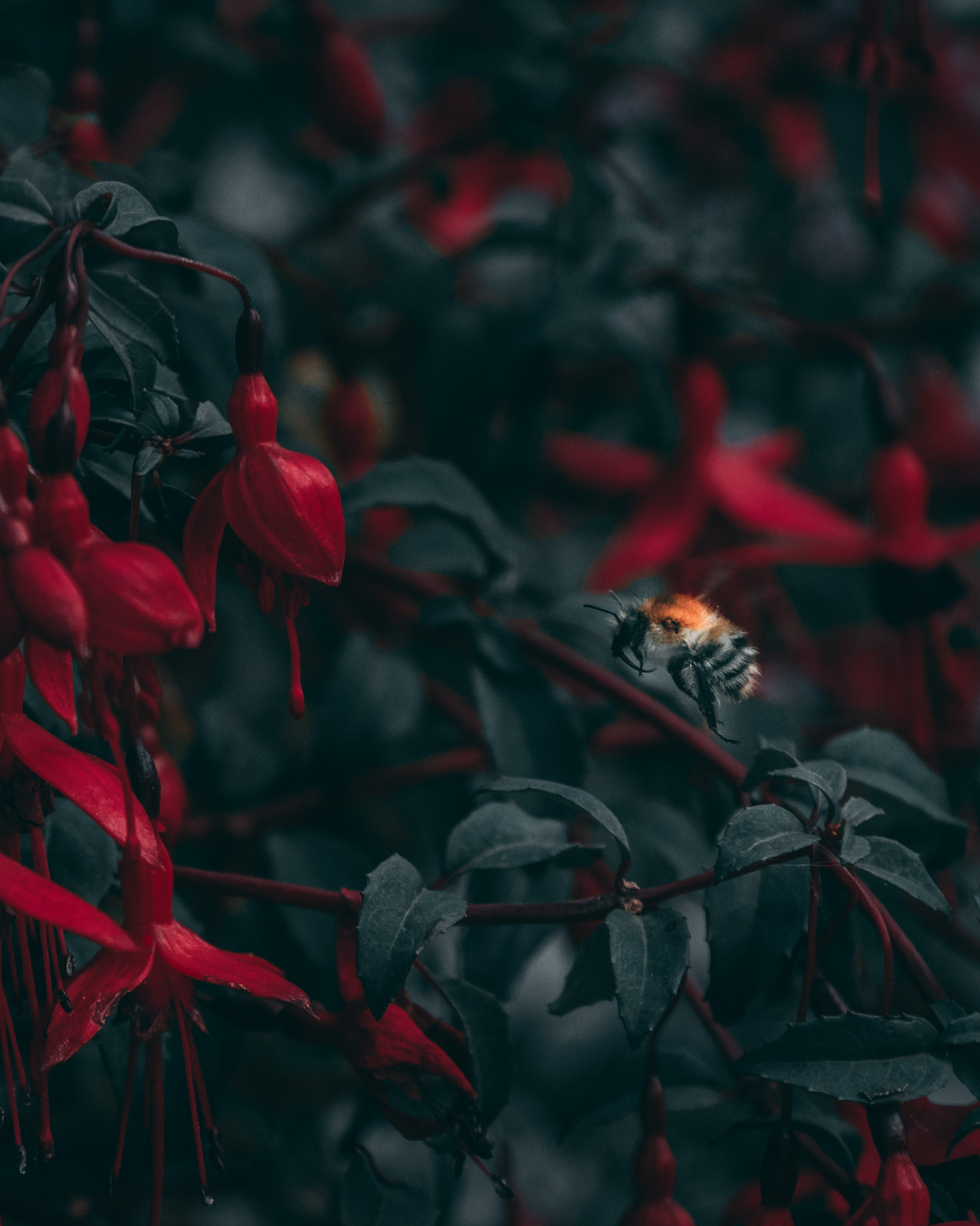 closeup photo of black and red bee taking flight into red petaled flower