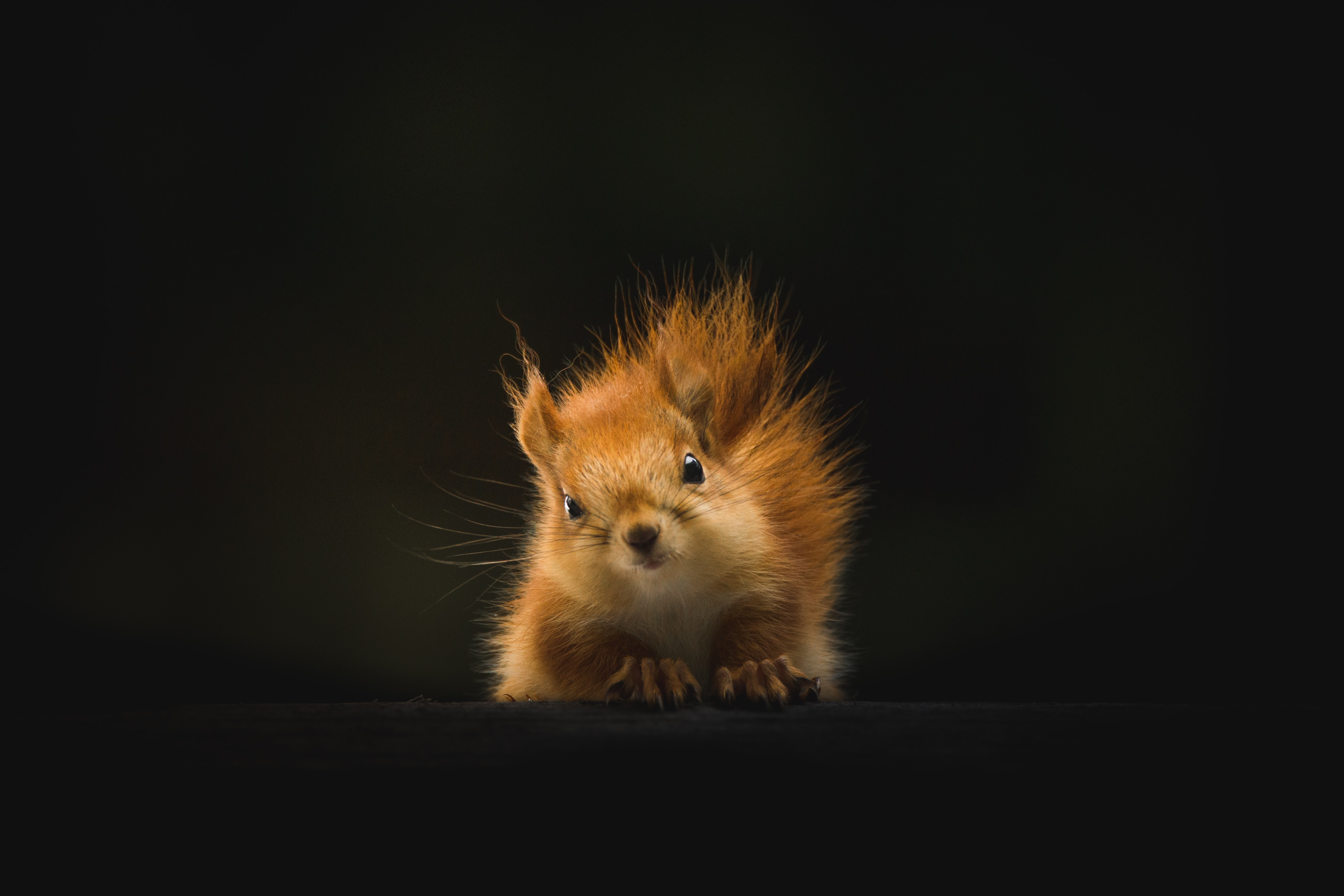A squirrel with a dark background.