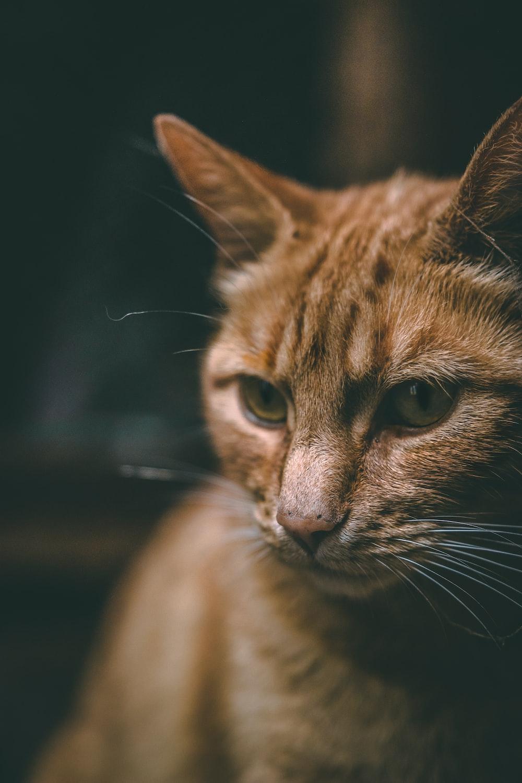 closeup photography of orange tabby cat