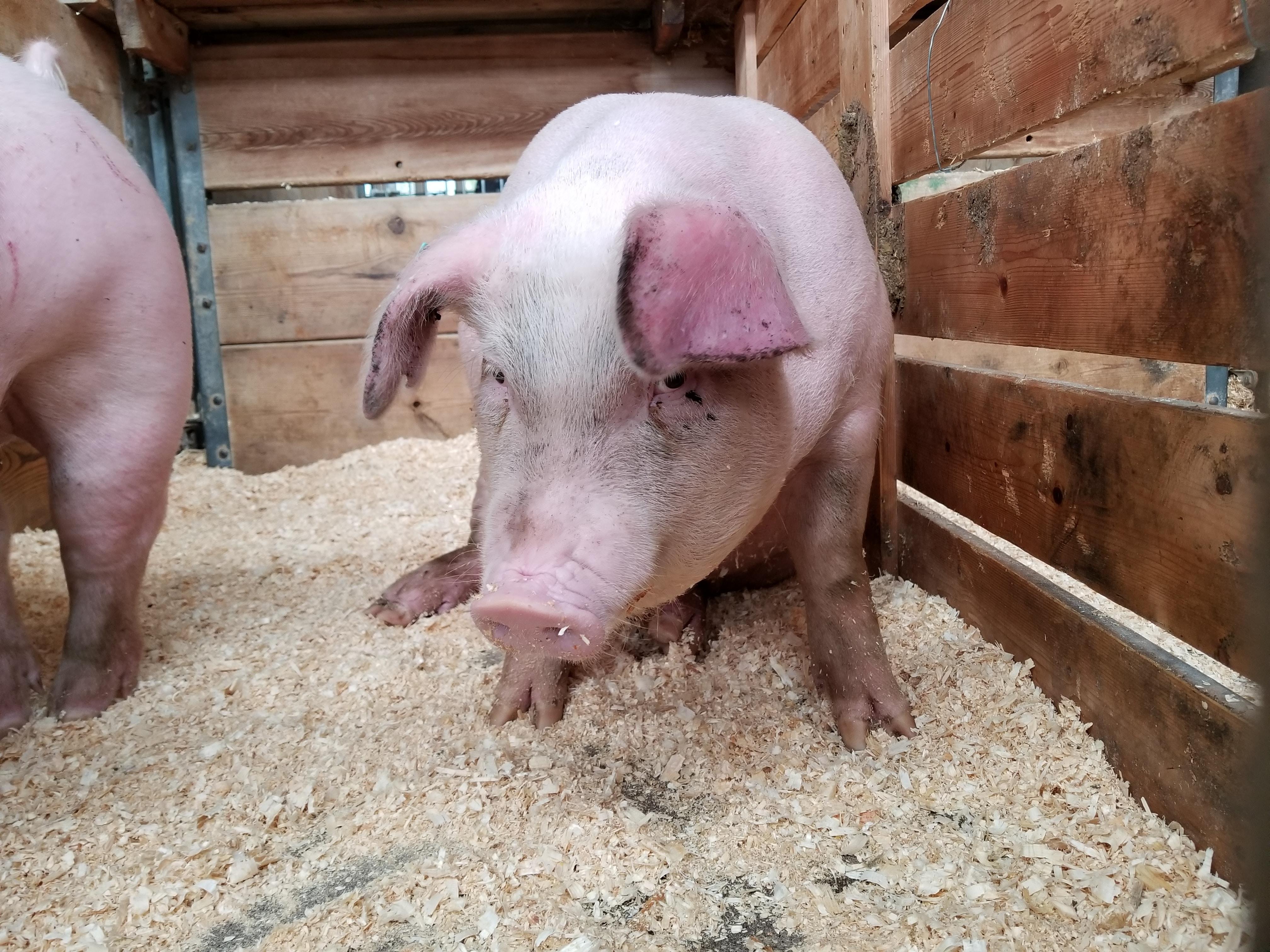 Ausbruch der afrikanischen Schweinepest in der Region Kiew registriert