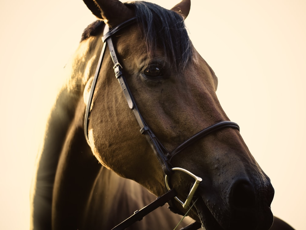 close up photo of brown horse
