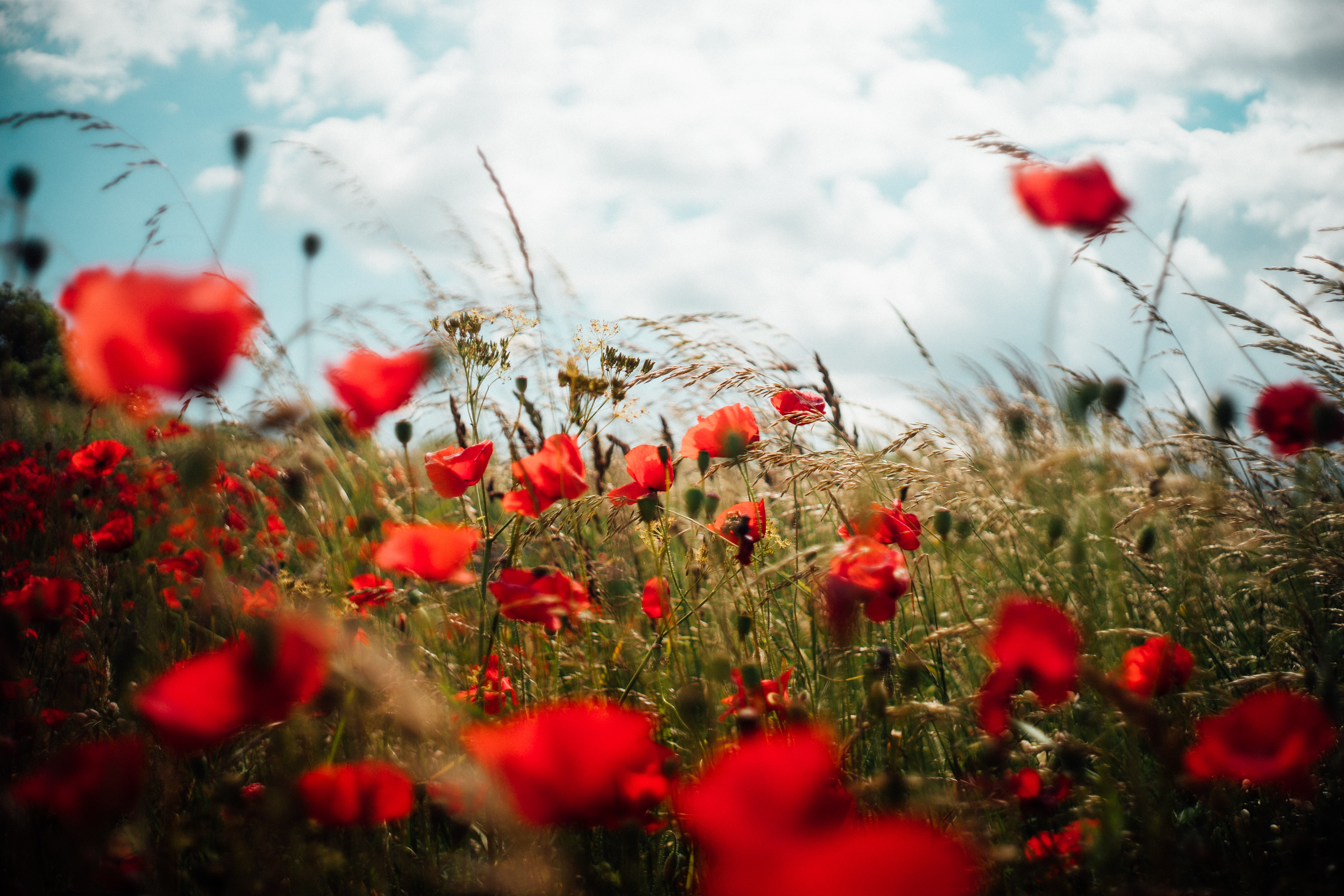 closeup photo of red petaled flower field under white clouds
