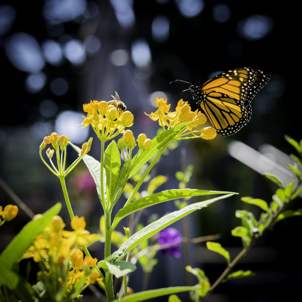 closeup photo of yellow and black butterfly on yellow flowers
