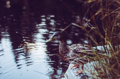 wildlife photography of gray duck