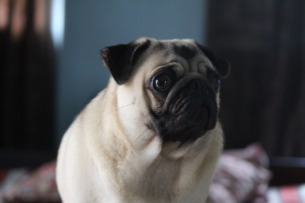 selective focus photography of adult pug