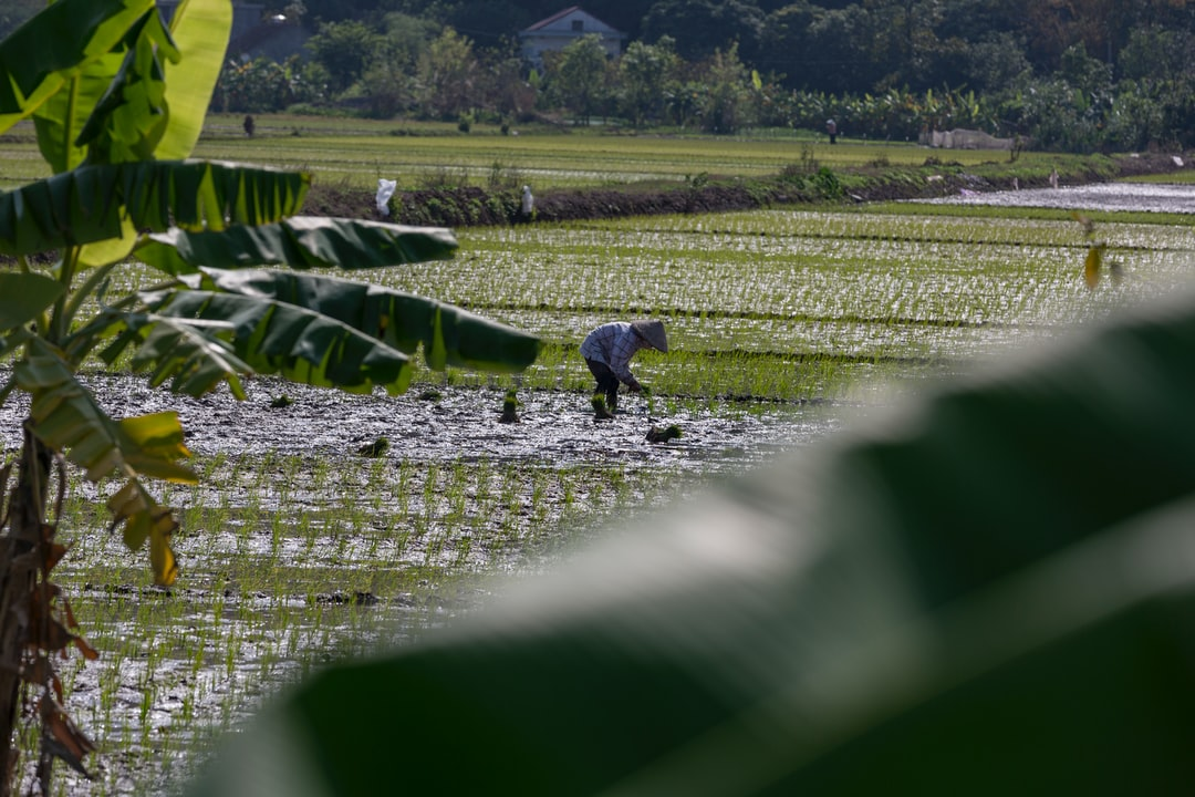 A woman planting rice in a field near Ninh Binh in North Vietnam. Rode my bike and saw her. Liked the Banana leaves in the front.