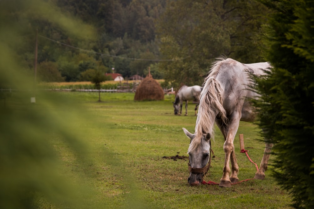 white horse eating grass on green grass field during daytime