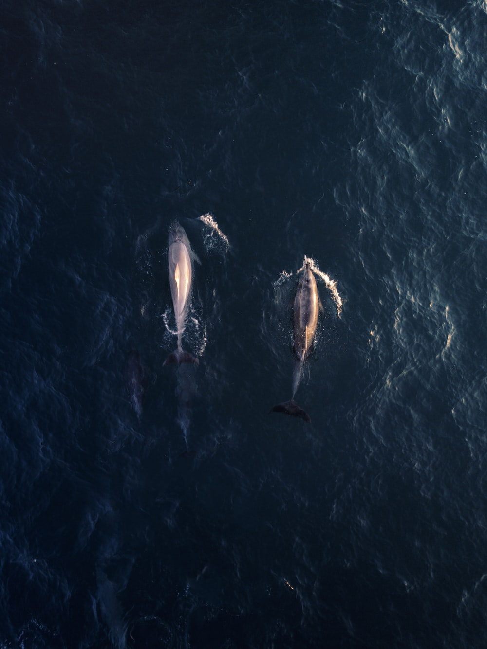 aerial view photography of two dolphins in water
