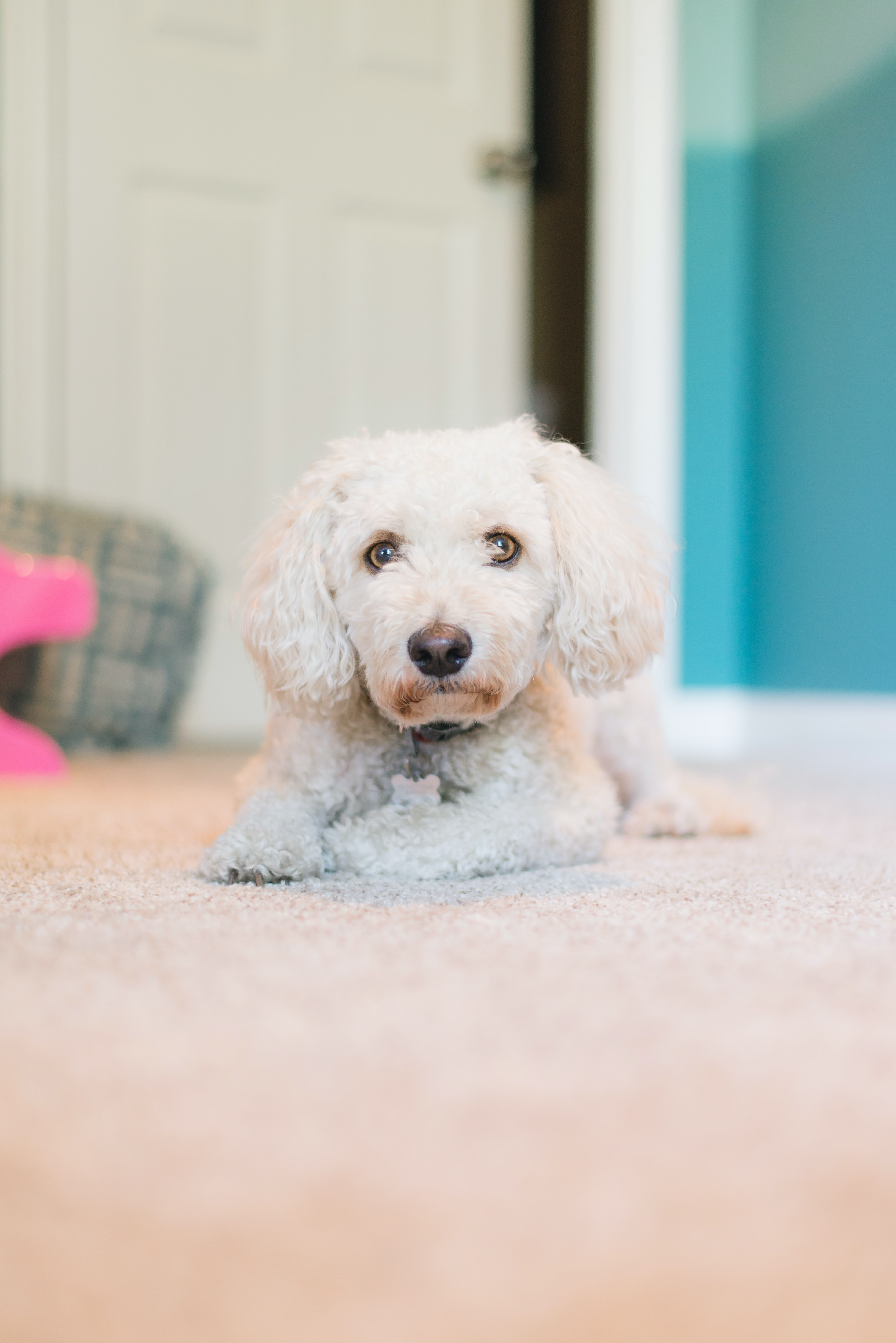 adult white toy poodle laying down on carpet