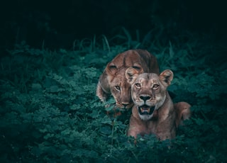 two lioness on green plants